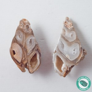 1.89 in Polished Agate Split Pair Sea Snail from Western Sahara