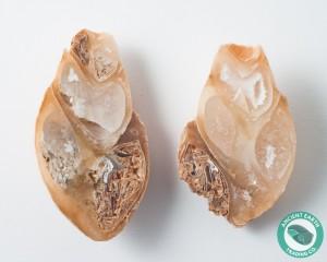 1.97 in Polished Agate Split Pair Sea Snail Gastropod from Western Sahara